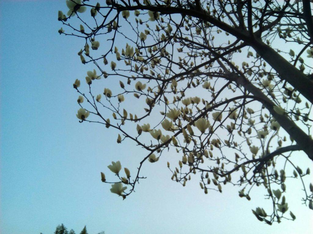 モクレン開花