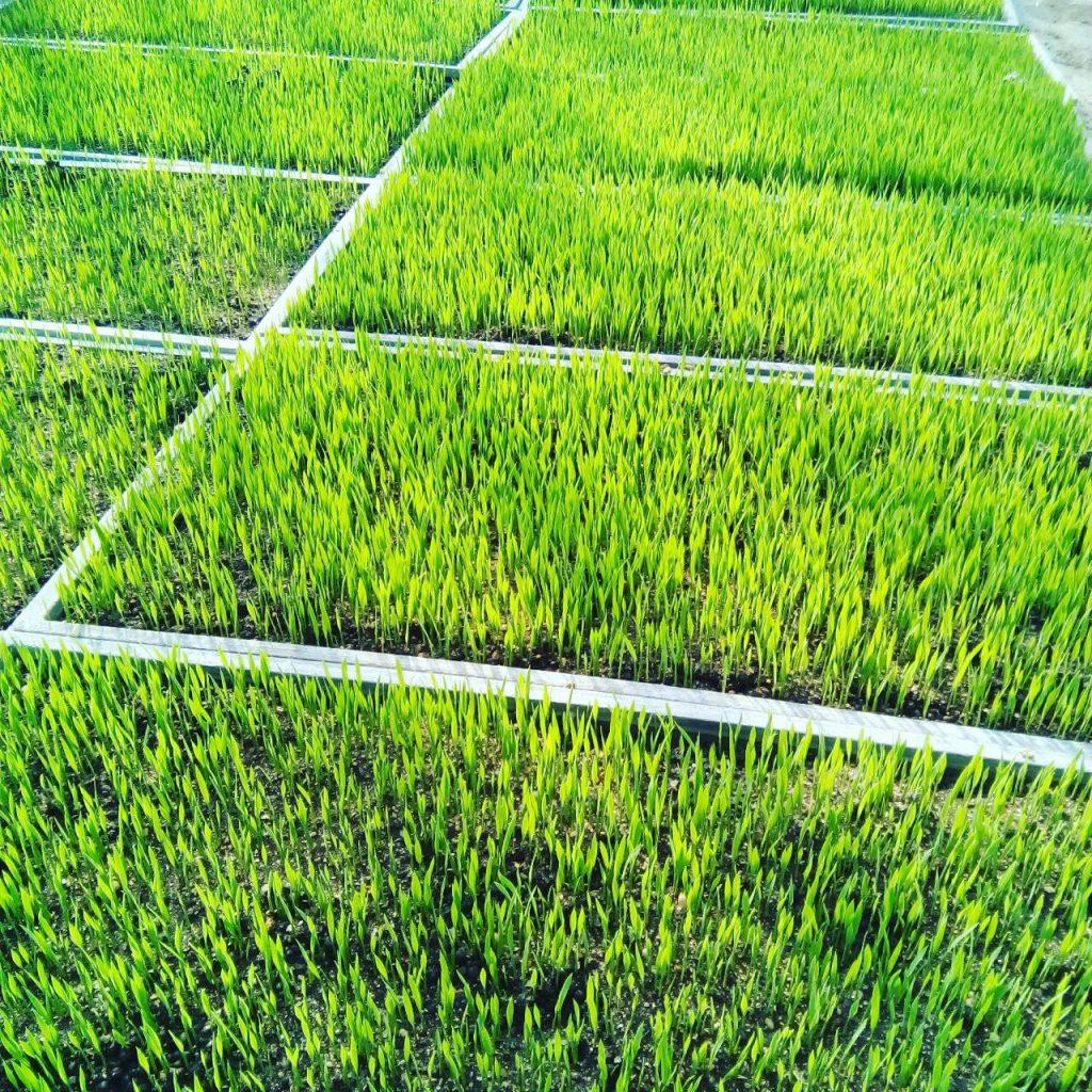 お米の芽生え